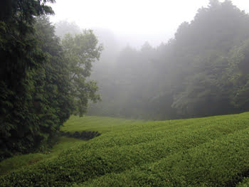SpectroTea_tea_field_1.jpg