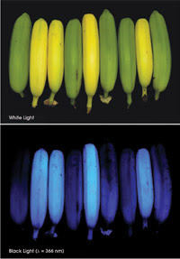 Bananas-light-comp.jpg