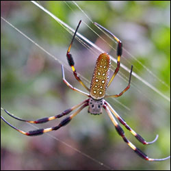 The golden orb web spider is common and, thanks to its big size (6 to 10 cm), its silk can be extracted easily.