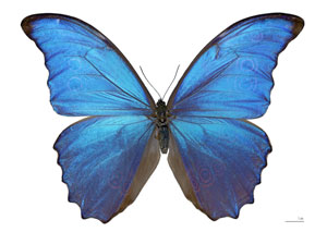 Dorsal view of male butterfly that was captured in Peru and is stored in the Toulouse Museum.