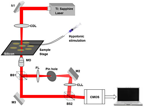 Schematic of the near-infrared quantitative phase microscope (NIR-QPM) setup using a near-infrared illumination source (Ti:sapphire laser) to acquire images of biological samples through an opaque silicon substrate. CDL = condenser lens; CLL = collimating lens; MO = microscopic objective; BS1 and BS2 = Beamsplitters; M1, M2 and M3 = mirrors; FL = focusing lens; CMOS = complementary metal oxide semiconductor.