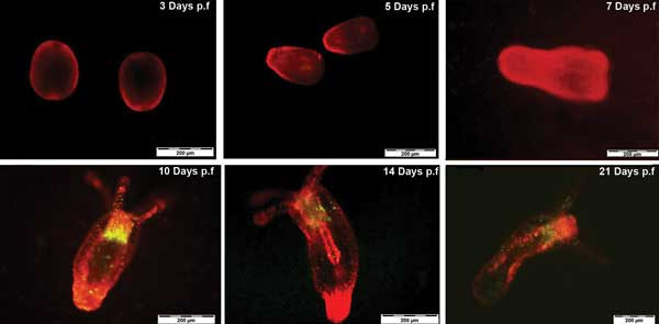 Tracking N. vectensis development by QR labeling