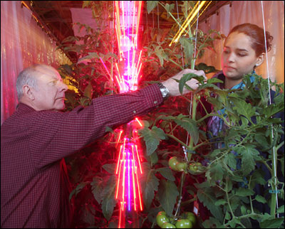 Cary Mitchell, left, and Celina Gómez harvest greenhouse tomatoes grown around red and blue LED lights, which use far less energy than traditional high-pressure sodium lamps.