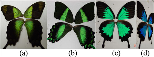 The wings of the three types of butterflies under study at Hong Kong Baptist University. From left: front views of P. peranthus, P. blumei and P. ulysses. The rightmost panel is a side view of the P. ulysses.