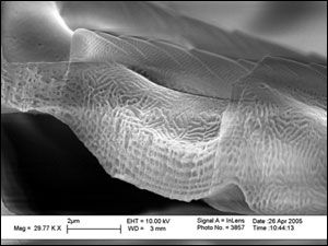 Scanning electron microscope image showing seven-layer cuticle structure of a cross-section of Papilio blumei wing scale at almost 30,000× magnification.