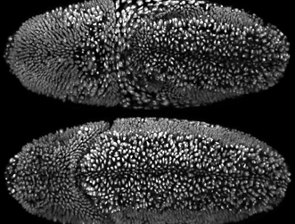A screenshot of Drosophila embryonic development