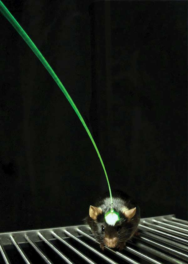The fiber optic interface developed in the Deisseroth lab, and used in all of the studies described in this article, allows light delivery to deep brain structures during behavior.