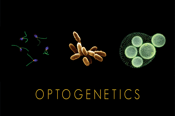 Some of the organisms from which optogenetic tools called 'microbial opsins' are taken.