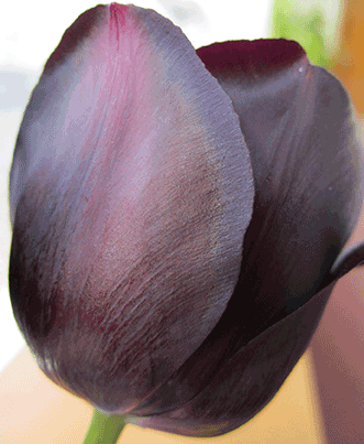 The iridescent shimmer of the Queen of the Night tulip is caused by microscopic ridges on its petals that diffract light.