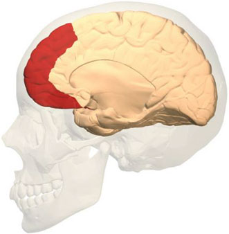 The prefrontal cortex, highlighted in red, is responsible for high-level functions like memory, attention and problem solving.