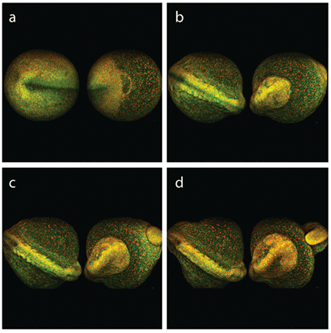 Multiphoton excited fluorescence imaging is compatible with long-term monitoring of live zebra fish embryo development.