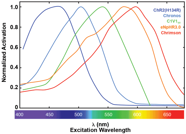 Normalized activation spectra for a selection of opsins. ChR2(H134R),10 Chronos,11 C1V1TT10 and Chrimson11 are all activating opsins derived from either channelrhodopsin-1 or -2. eNpHR3.012 is a chloride pump derived from halorhodopsin.