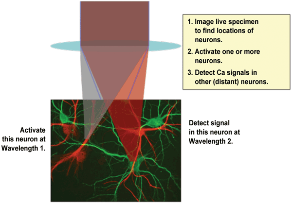 In a typical optogenetics experiment, two different wavelengths are required: one for photoactivation of target neuron(s) and a second wavelength to detect Ca2+ ion spikes in interconnected neurons.