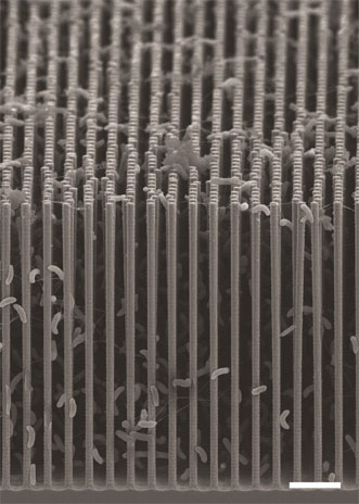 Nanowire/bacteria hybrid array