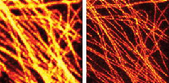 The effectiveness of STED is clear in this pair of images of fluorescently tagged microtubuli in mammalian cells using a 577-nm Coherent Genesis laser to drive the STED effect: conventional confocal (<b>left</b>) and gated STED image (<b>right</b>).