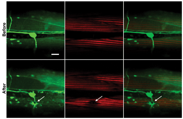 Two-photon fluorescence, second harmonic and merged images of C. elegans worm muscles