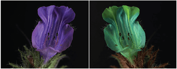 The flowers of Echium angustifolium are seen in human vision (left) and honey bee vision (right).