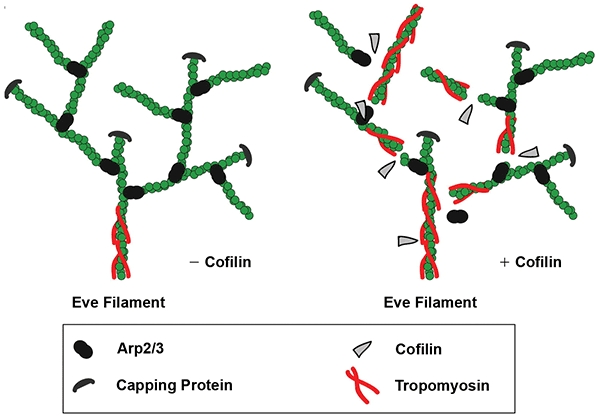 These images summarize the role of cofilin in the model proposed by Hsaio et al. [ref].