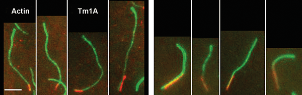 TIRF images showing Tm1A binding preferentially to the pointed end of single actin filaments.