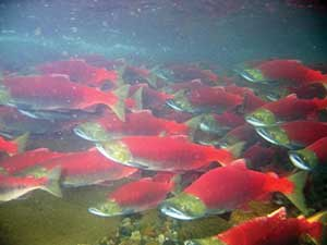 Salmon and other freshwater fish and amphibians supercharge their ability to see red and IR light.