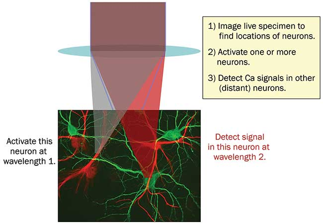 In all-optical physiology experiments with multiphoton lasers, neural activity can be manipulated and monitored at single neuron resolution.