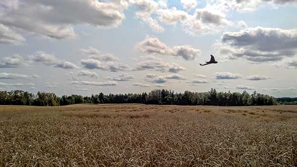 A Raptor Maps Inc. drone flies over a wheat field showing signs of wind damage.