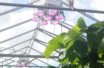 Plessey's PhytoLux Attis-7 LED horticultural lights in use by a commercial strawberry grower