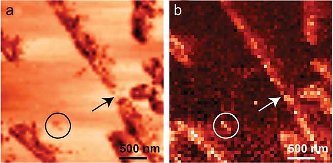 Simultaneously acquired (a) STM and (b) TERS (acquisition time 1 s/pixel, 2 mW incident power) images of individual Ab(16-22) peptide nanotapes with 50 × 50 pixels.