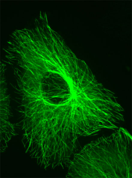 This image shows a Vero cell that was grown on a first surface mirror and fluorescently stained to show the microtubules, which are part of the cell cytoskeleton.