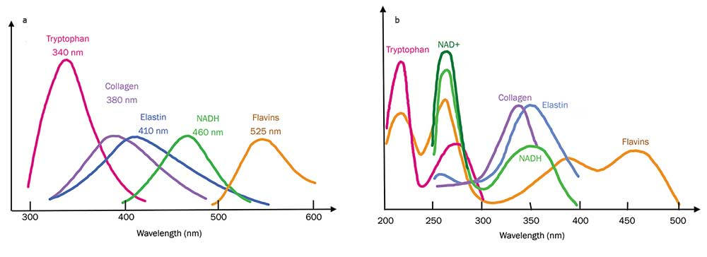 UV to visible fluorescence (a) and absorption spectra (b) of key building blocks of molecules in tissues.