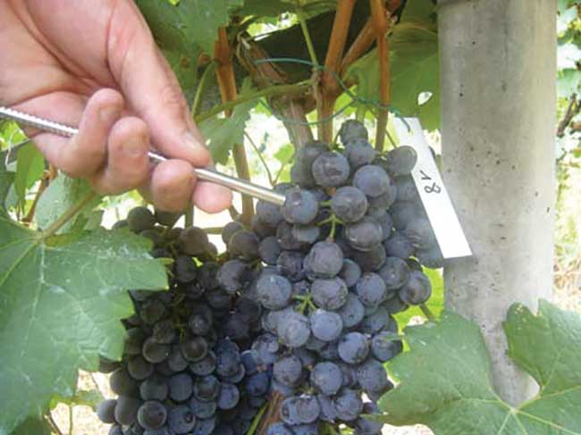 Grape composition at harvest is the primary determinant of future wine quality.