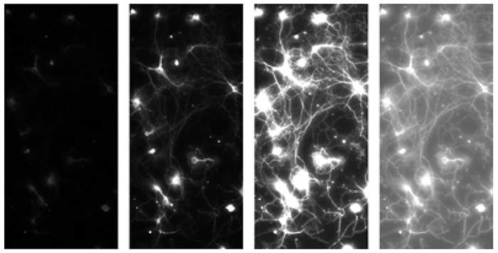 Four extracts of the same fluorescent image of a Calcium indicator in neurons