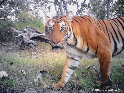 A tiger photographed by a camera-trap.