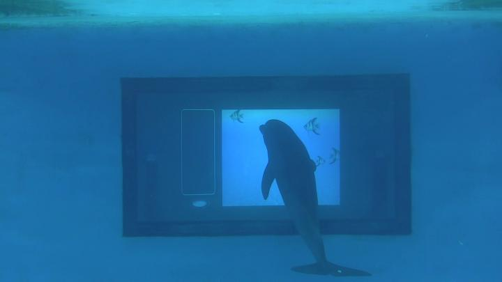 Interactive touchscreen for dolphin gamers, Rockefeller University.