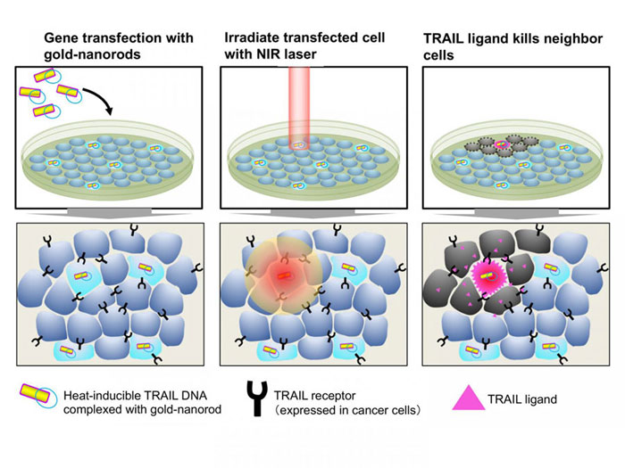 Light-induced gene therapy for cancer treatment, Kyoto University.