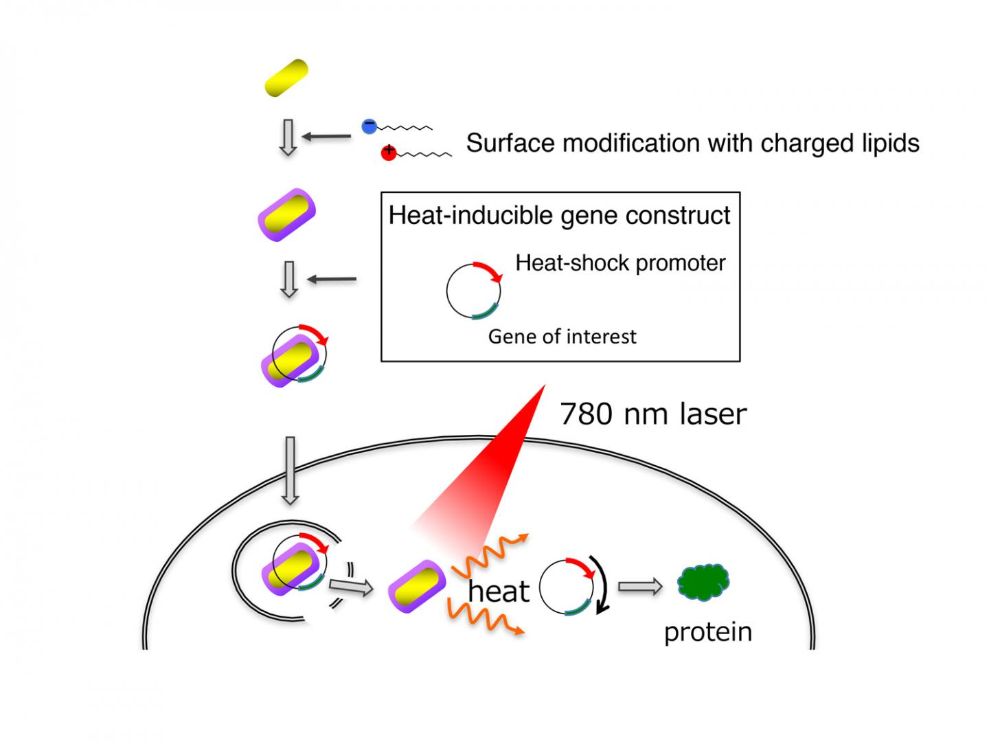 Light induced gene therapy for cancer treatment, Kyoto University.