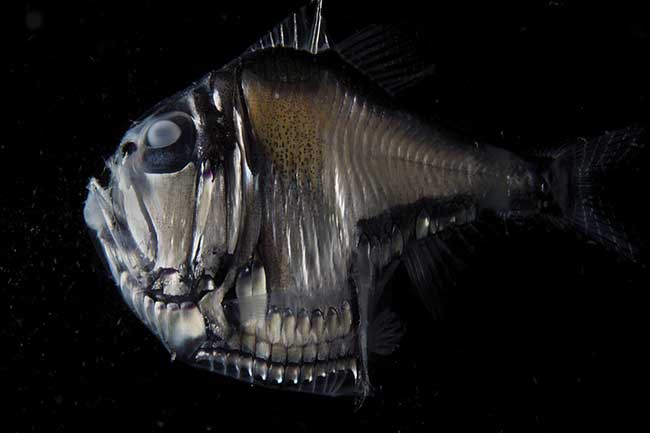 Lateral aspect of hatchetfish showing general anatomy including ventral photophores, and appearance of the fish in diffuse lighting.