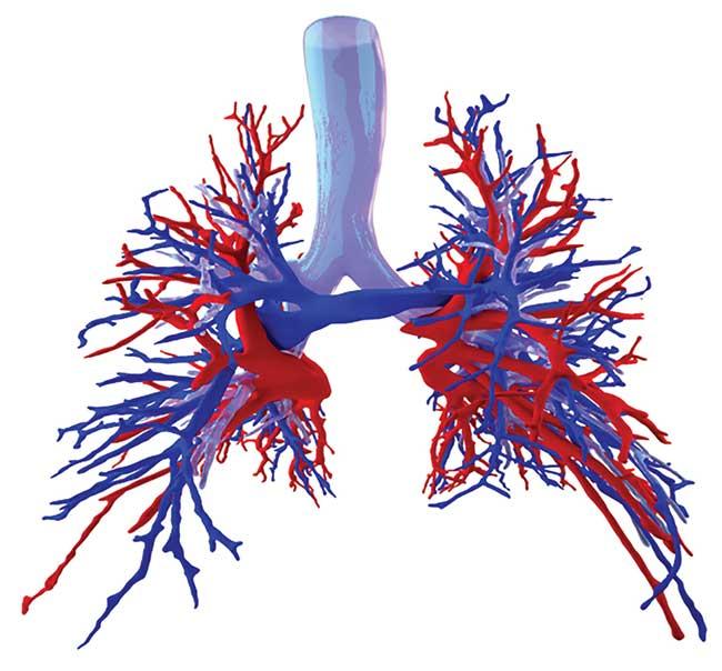 Mesh model of human bronchial tree and pulmonary vasculature.