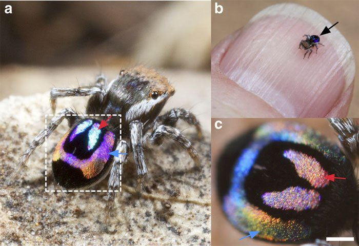 Rainbow iridescence created by peacock spiders could inspire new optical technology, University of Akron et al.