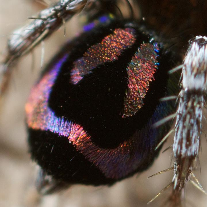 Rainbow iridescent peacock spiders could inspire new optical technology, University of Akron et al.