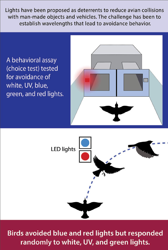 Giving birds a choice test helps researchers determine what kinds of light the animals tend to avoid. Courtesy of Gabriela Sincich, Purdue University.