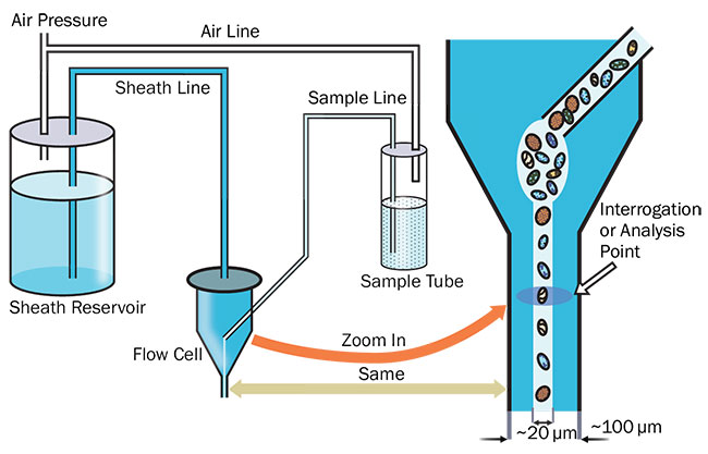 Figure 2. Fluidics and detail of the interrogation process. Courtesy of Hamamatsu Corp.