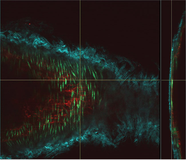 Figure 1. Deep imaging using simultaneous excitation at both 830 and 1100 nm with a Chameleon Discovery laser. The vessel wall of a mouse carotid artery showing en face and orthogonal views. The cyan structure shows collagen fibers (via second-harmonic generation [SHG] detection); the red are endothelial cell interfaces labeled with Alexa 647, and the green shows nuclei of the smooth muscle cells labeled with Cyto41. Courtesy of Dominic Depke, European Institute for Molecular Imaging (EIMI), Münster.