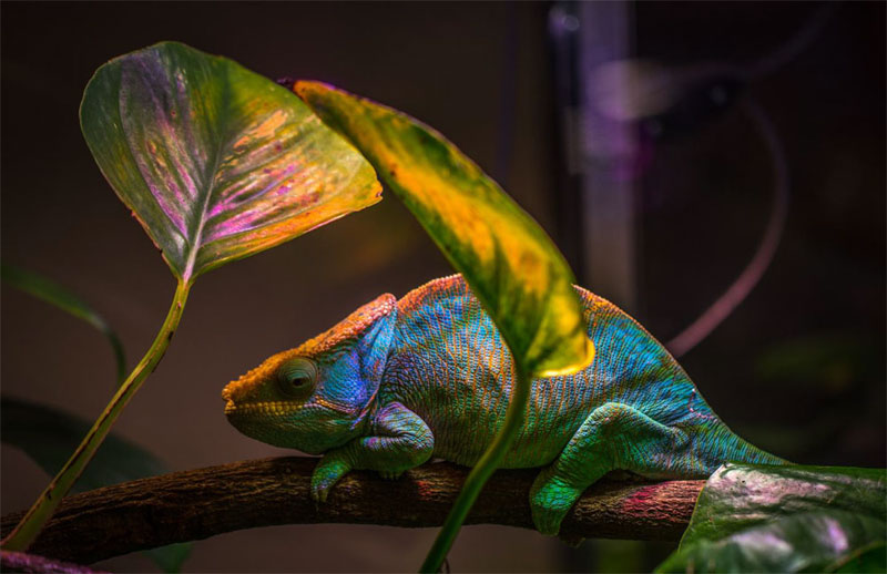 Novel nanolaser leverages the same color-changing mechanism that a chameleon uses to camouflage its skin. Courtesy of Egor Kamelev.
