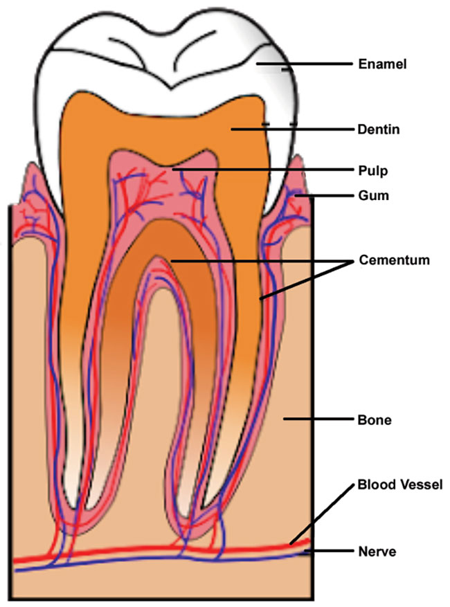 The labeled anatomy of a human tooth.