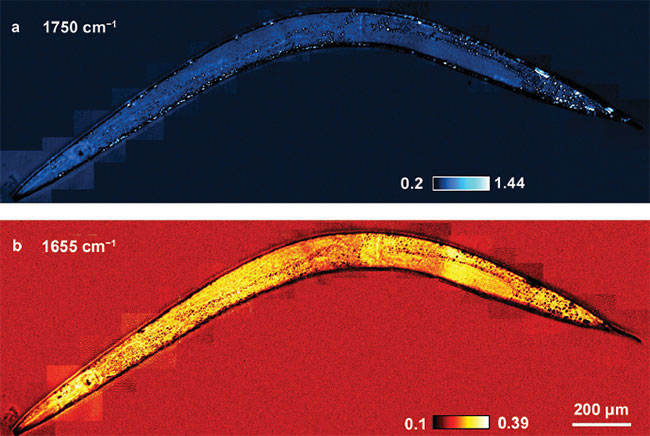 In vivo MIP imaging of lipid and protein in Caenorhabditis elegans.