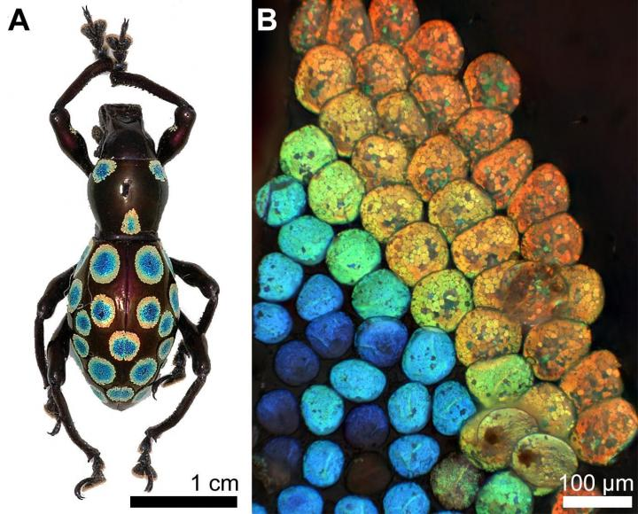 Color generation mechanism discovered in 'rainbow' weevil, University of Fribourg, Yale-NUS College.
