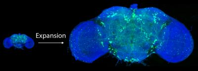 Rapid imaging of large portions of brain tissue, Janelia, HHMI, MIT.