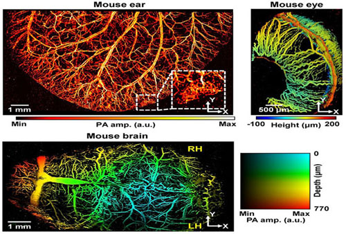 Photoacoustic images of microvessels in the ears, eyes, and brains of mice captured by the newly developed photoacoustic microscopy. Courtesy of Chulhong Kim/POSTECH.