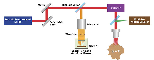 Figure 1. A schematic of the Kleinfeld lab's wavefront correction 2P microscope setup that uses adaptive optics (AO) from a deformable mirror. Courtesy of Kleinfeld lab.